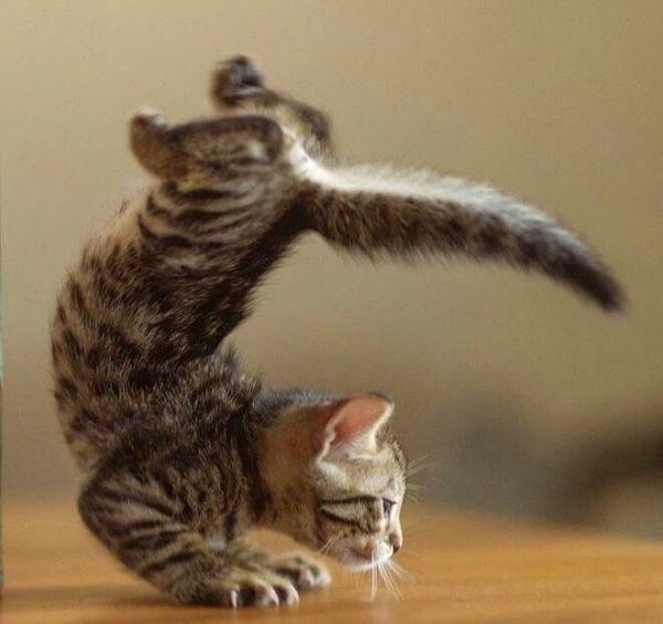 yoga-kitten